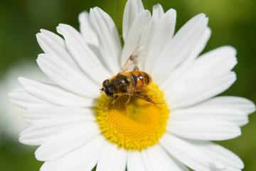 マーガレットにとまった蜜蜂