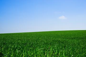Junger Getreidebestand im Frühling, weitläufig