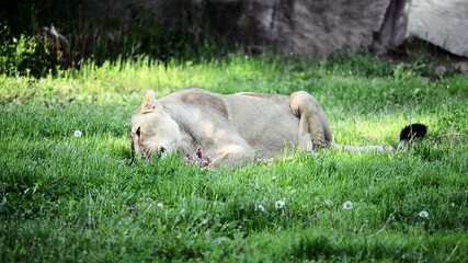 Lion eating on green grass in Prague Zoo