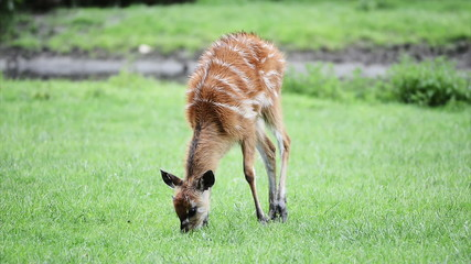 Baby deer eating green grass