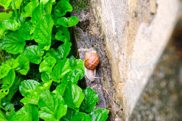 Helix Pomatia snail in the garden after rain