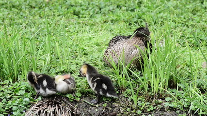 Duck with ducklings clean their feather