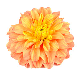 Beautiful Orange Dahlia Isolated on White Background