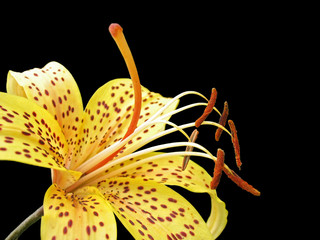 Yellow tiger lily isolated on black