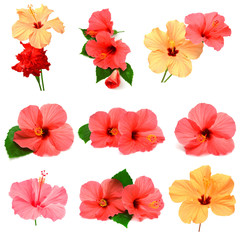 Collection of colored hibiscus