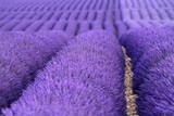 Fototapety valensole provenza francia campi di lavanda fiorita
