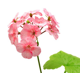 Geranium with leaves