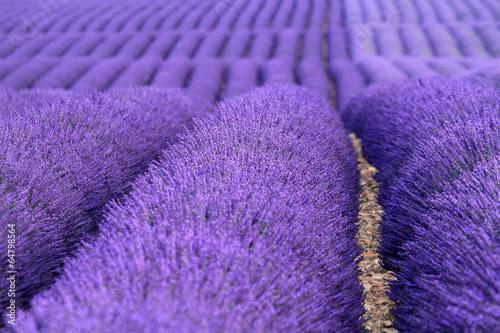 Plexiglas Pansies valensole provenza francia campi di lavanda fiorita