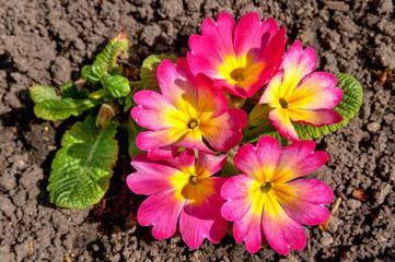 primula flowers close up