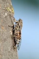 cicala insetto estivo rumoroso