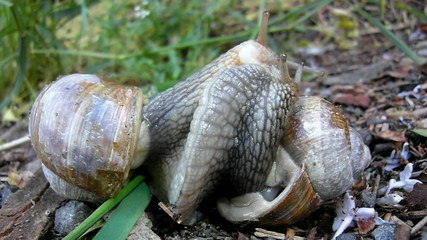 Two big snails have a sex. Very closeup view to snail sexual act