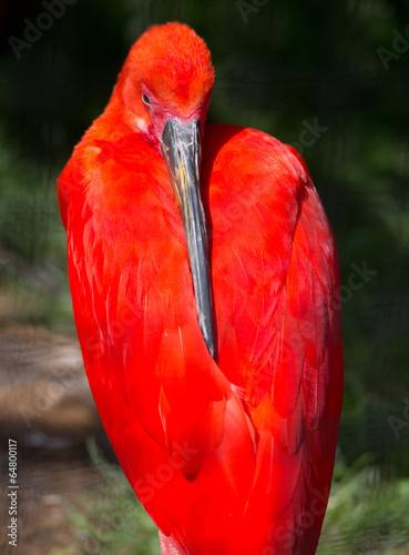 Leinwandbild Motiv roter Vogel