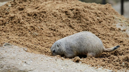 American prairie dog digging a burrow