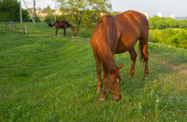 Horses on a spring pasture at evening time