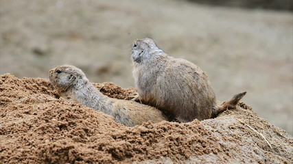 American prairie dog family