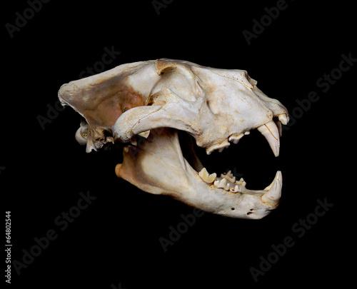 Staande foto Leeuw African Lion Skull (Pantera leo).