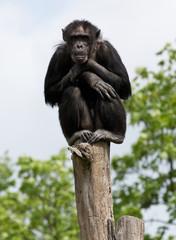 Schimpanse auf einem Baumstumpf