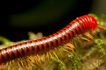 Macro of a red millipede, Borneo, Malaysia