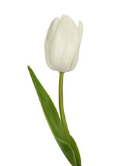 White tulip. Vector illustration. Isolated on white