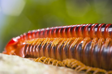 Mating of red millipedes, Borneo, Malaysia