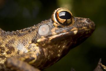 Portrait of a tropical frog, Borneo, Malaysia