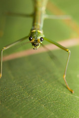 Macro of a stick insect (Phasmatodea), Borneo, Malaysia