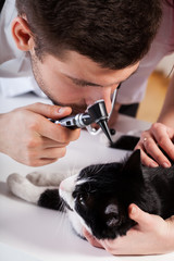 Vet examining a cat's ear