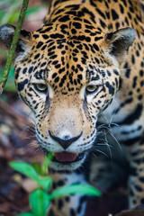 Jaguar in jungle