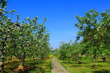 春のリンゴ畑