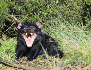 Tasmanian Devil Open mouth