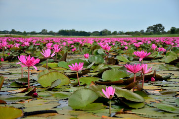 Lotus Flowers in Swamp
