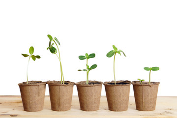 Pots with seedlings stand in a line isolated over white backgrou