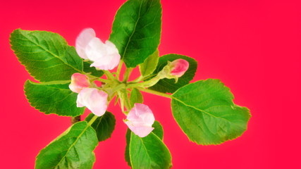 Timelapse apple tree flowers on pink background.
