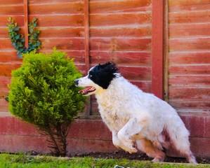 pouncing dog