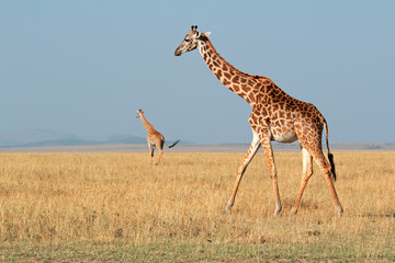 Masai giraffes, Masai Mara National Reserve