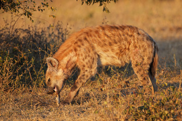 Scavenging spotted hyena
