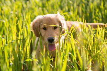Cucciolo di golden retriever con la lingua fuori