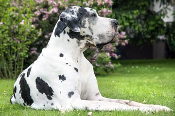 Deutsche Dogge aufmerksam im Garten liegend