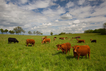 The herd of cows on spring meadow