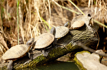 Family of terrapin turtles in their natural habitat