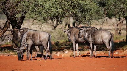 Blue wildebeest irritated by biting flies