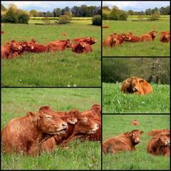 Vaches Limousines.