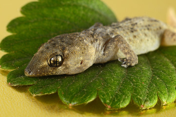 Gecko Lizard and Leaf