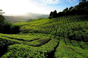 Tea Plantations at Cameron Highlands, Malaysia
