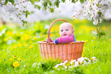 Happy funny baby in a basket in blooming apple tree