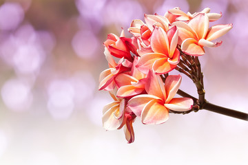 Beautiful pink flowers isolated on purple