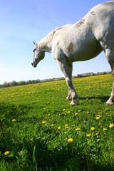 Koń zapatrzony w dal