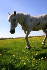 Ciekawski koń