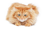 fluffy red  cat  isolated on white background - 64821128