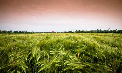 tramonto sul grano